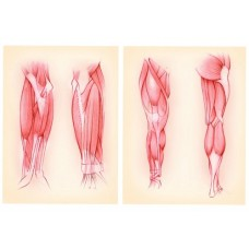 Arm and Lower Limb Muscles (A4)